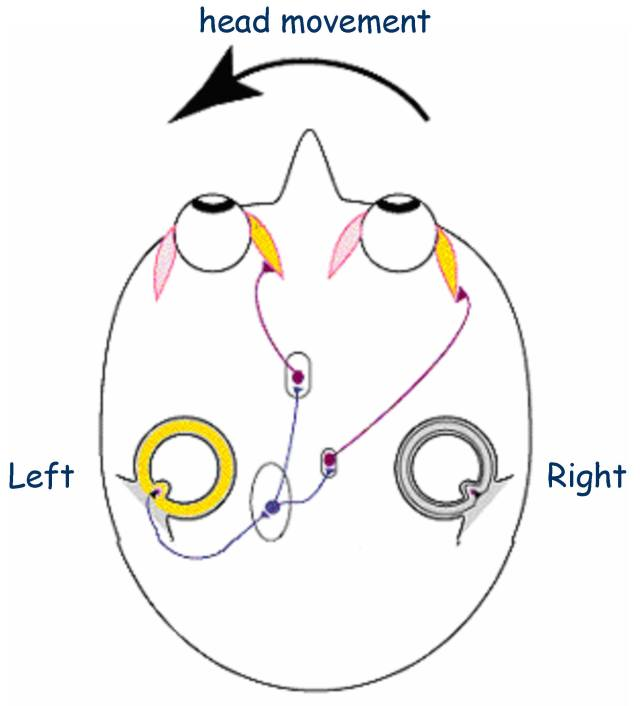 VESTIBULAR EYE HEAD MOTION PIC