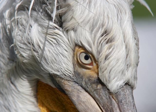 EYE 1704dalmatian_pelican