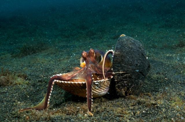 OCTOPUS coconut octopus 9.2560-1600