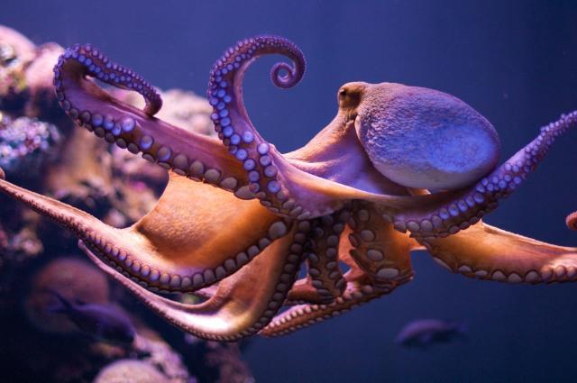 octopus flickr-3658339290-hd