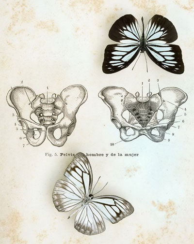 butterfly pelvis 6a00e39335dc1e8834011168cca997970c-800wi