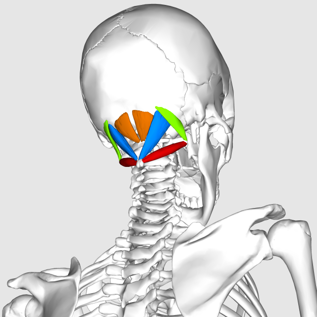Suboccipital_muscles06